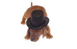 щенок 01 dachshund Стоковая Фотография