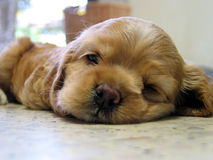 щенок Стоковая Фотография RF