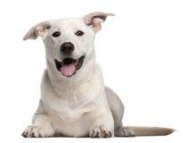 щенок 5 месяцев breed лежа смешанных старый стоковые изображения rf