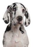 щенок 6 месяцев датчанина больших старый Стоковое Изображение