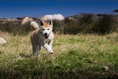щенок akita счастливый стоковые изображения rf