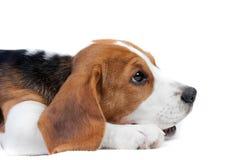 щенок beagle лежа Стоковая Фотография