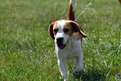 щенок beagle Стоковая Фотография
