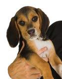 щенок beagle Стоковая Фотография RF
