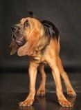 Щенок Bloodhound Стоковое фото RF