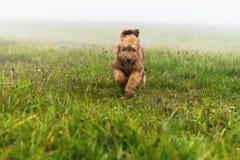 Щенок Briard бежать за выгоном Стоковые Изображения RF