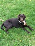 Щенок chien Лабрадора собаки стоковая фотография rf