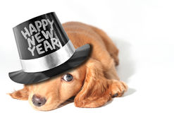 щенок dachshund Стоковое фото RF