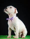 Щенок Dogo Argentino Стоковые Изображения RF