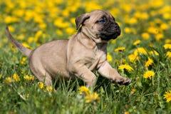 щенок dogo canario стоковое изображение