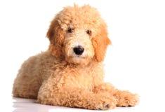 щенок doodle золотистый стоковые фото