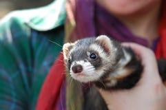 щенок ferret Стоковая Фотография