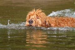 Щенок Goldendoodle заплывания Стоковое фото RF