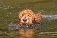 Щенок Goldendoodle заплывания Стоковая Фотография