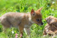 щенок jackal Стоковое Изображение