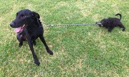 Щенок Labradoodle вытягивая поводок более старой собаки Стоковые Фото