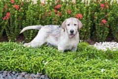 Щенок labrador грязи Стоковая Фотография RF