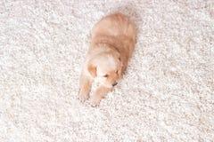щенок labrador маленький Стоковые Изображения RF