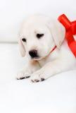 Щенок labrador с красной тесемкой на его шеи Стоковая Фотография RF