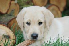 щенок labrador Стоковые Изображения