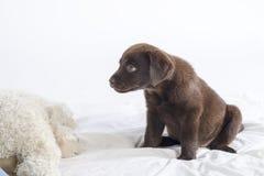 Щенок labrador Стоковые Изображения RF