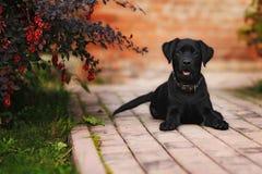 щенок labrador Стоковое Изображение RF