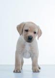 щенок labrador Стоковые Фото