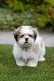 щенок lhasa apso стоковое фото