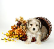 щенок morkie Стоковые Изображения