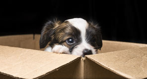 Щенок Papillon в коробке коробки стоковые изображения