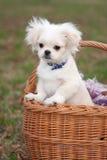 щенок pekinese Стоковое Изображение