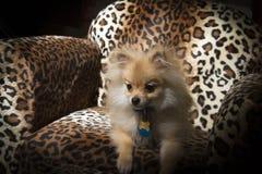 Щенок Pomeranian Стоковое Изображение