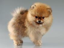 Щенок Pomeranian Стоковые Фото