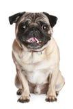 щенок pug Стоковая Фотография