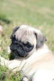 щенок pug Стоковое Изображение RF