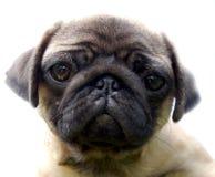 щенок pug Стоковые Фото