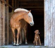 Щенок ridgeback Rhodesian с лошадью Стоковые Изображения