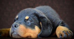 Щенок Rottweiler Стоковые Фото