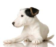щенок russel jack стоковое изображение