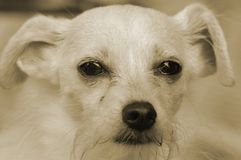щенок s глаза собаки Стоковое Изображение RF