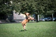 Щенок spaniel американского кокерспаниеля внешний Стоковые Фотографии RF