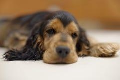 Щенок Spaniel кокерспаниеля спать Стоковое фото RF