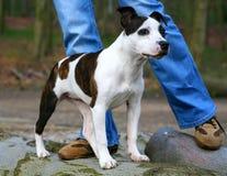 щенок staffordshire Стоковые Фотографии RF