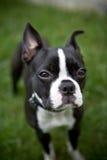 Щенок Terrier Бостона стоковые фотографии rf