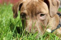 Щенок terrier быка Staffordshire Стоковые Изображения RF