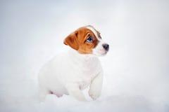 Щенок Terrier Jack Рассела, портрет в зиме Стоковое Изображение RF