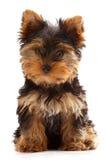 щенок yorkshire Стоковое фото RF