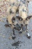 Щенята Ботсвана Том Wurl дикой собаки Стоковые Изображения RF