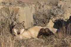 Щенята волка тимберса нянча на матери Стоковые Изображения RF