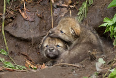 Щенята волка тимберса Стоковая Фотография